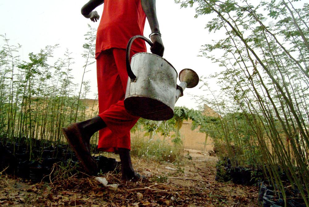 Mali : le gouvernement renforce le parc à karité avec 8400 plants supplémentaires
